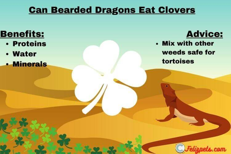 Can-Bearded-Dragons-Eat-clover