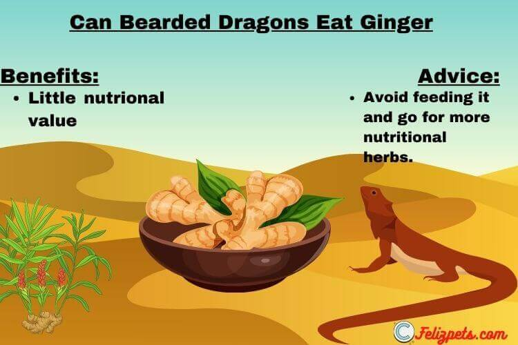 Can-Bearded-Dragons-Eat-ginger